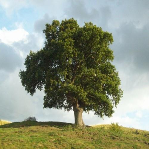Quayak ağacı